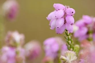 Cross-leaved Heath