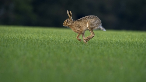 Running brown hare