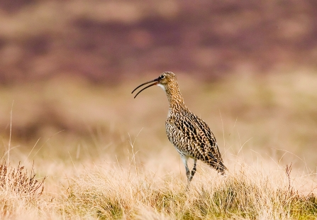 Curlew © Damian Waters