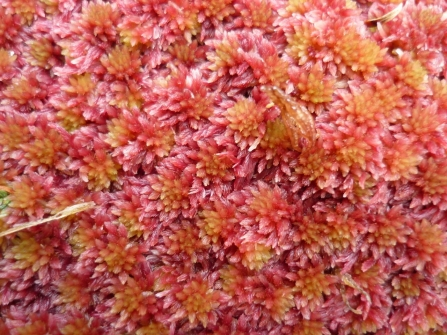 Sphagnum capillifolium © Gordon Haycock of Haycock and Jay Associates Ltd