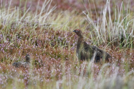 Red grouse © Beth Thomas