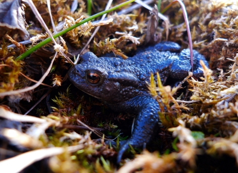 Common toad © Emma Goodyer