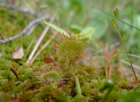 Round-leaved sundew © Emma Goodyer
