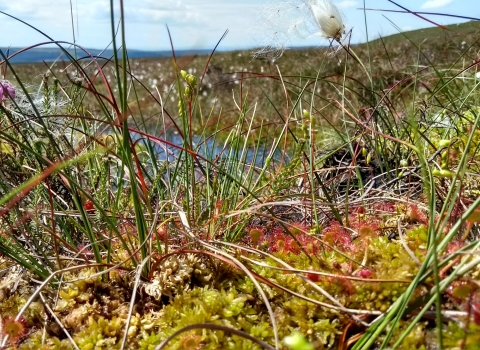 Cottongrass, sphagnum and sundews on the North York Moors © Dom Hinchley